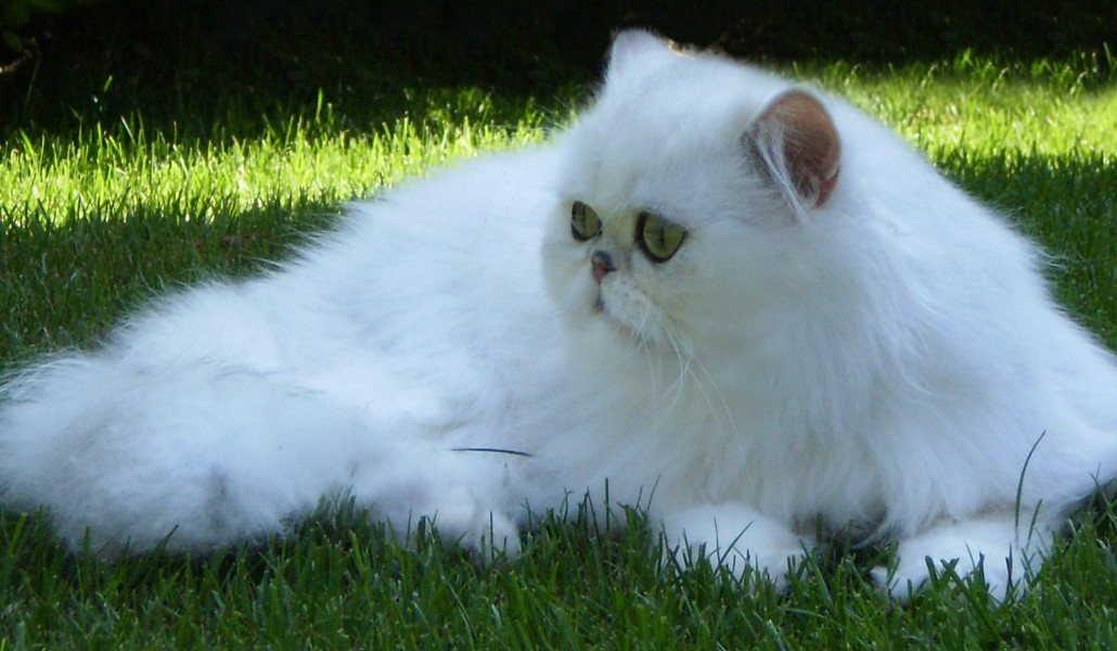 EUCKER / CFA/ chinchilla, silver, golden, persian, exotic cat | NEWS
